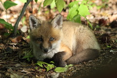 Red Fox Kit At Great Swamp 13 photo by AirborneRangerVI - Mostly Off Not Feeling Well