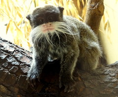 Funny squinting moustache tamarin photo by Cloudwhisperer67