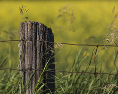 canola fence photo by KarenR-TB
