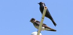 Purple Martin, Negri-Nepote photo by Vince Capp