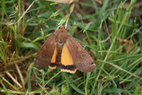 papillon Noctua pronuba ou le hibou ou la noctuelle fiancée (2)