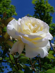 Rose Against a Blue Sky photo by trins