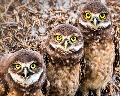 Three Owls in a Row photo by photocat001