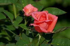 Rose photo by Ken Mickel