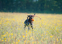 Playing in the Buttercups - Explore 18.5.14 photo by Peaf79