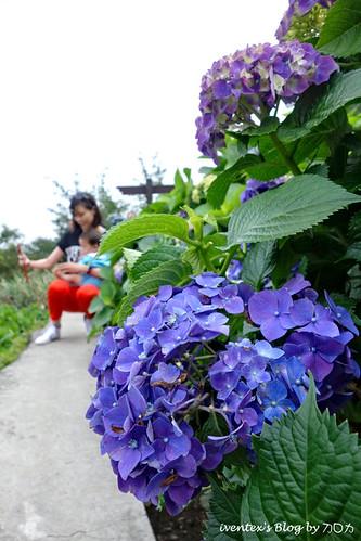 03_台北陽明山竹子湖大梯田繡球花海