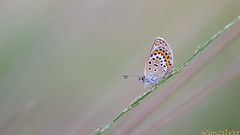 Heideblauwtje - Silver-studded blue photo by wimzilver