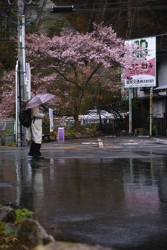 四万温泉 桜 2014/04/21