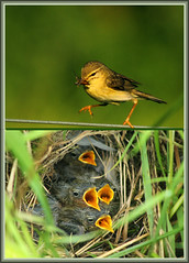Willow warbler feeding young (Explored 29/5/2014) photo by HEFFO1