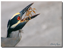 Yellow-crowned Night Heron photo by Betty Vlasiu