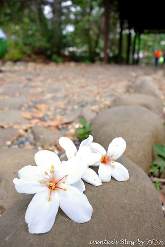 07_2014雲林縣古坑荷苞山客家桐花祭