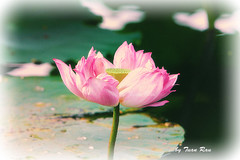 IMG_5154_Lotus photo by Tuan Râu