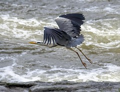 Heron take off. photo by 3peaker