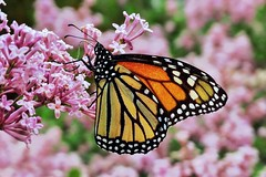 Monarch butterfly photo by Pingyeh