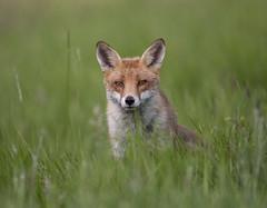 Fox. photo by richard.mcmanus.