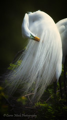 Great Egret photo by Caren Mack Photography