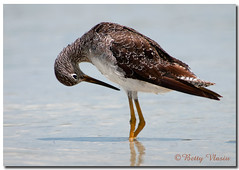 Lesser Yellowlegs photo by Betty Vlasiu