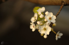 Soft white cherry blossoms photo by Cruise93