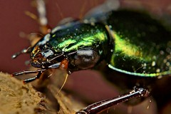 Green Ground Beetle, Chlaenius sericeus photo by Pingyeh