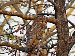 Mottled Wood-Owl, Satpura NP, India 2014 photo by cirdantravels