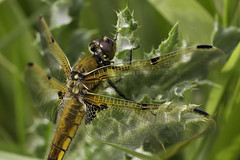 Four-spotted chaser photo by Steve Balcombe