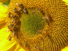 Bees and Sunflower photo by Chrissie2003