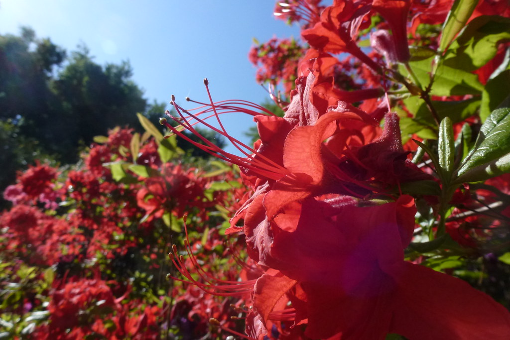 Rhododendron Sofiero