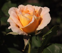 Orange Rose flower photo by ekaterina alexander