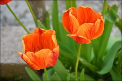 Orange duet photo by angelsgermain