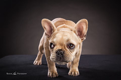 Frenchie photo by Nakean