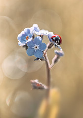 Forget-me-not photo by mikroman6