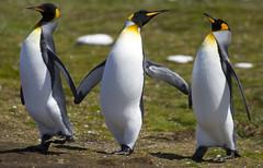 King Penguins, Falklands. Getty Images. photo by richard.mcmanus.