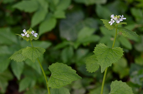 Garlic mustard plants