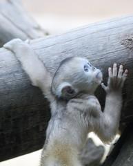 Golden monkey photo by floridapfe