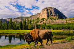 Bison, Madison River, Yellowstone Park, Wyoming, 2013 photo by Steve G. Bisig