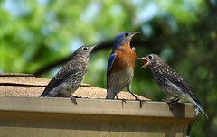 The Bluebird Fledglings are here! photo by ChicaD58