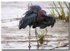 Little Blue Heron photo by Betty Vlasiu
