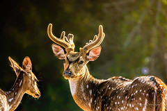 Indian spotted deer photo by Sharad Medhavi