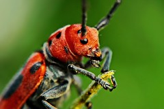 Red Milkweed Beetle, Macro photo by Pingyeh