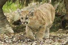 little prowler photo by ucumari photography
