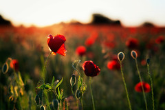 Red Poppy photo by Regarde là-bas