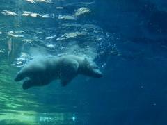 yes I can...swim:) Polar Bear cub Lale photo by BrigitteE1