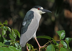 BLACK-CROWNED NIGHT HERON photo by ginger146