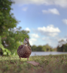 Curious Quacker (Rolleicord) photo by macromary
