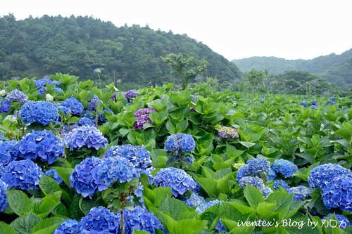 01_台北陽明山竹子湖大梯田繡球花海