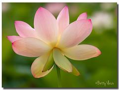 Pink Lotus Flower photo by Betty Vlasiu