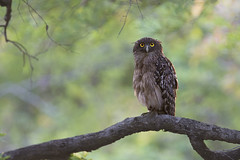 Brown Fish Owl photo by palnick
