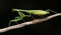 Praying Mantis on Stick photo by TheGreatContini