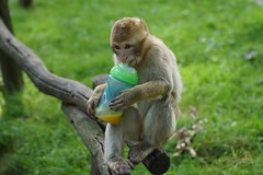 little monkey with a baby's bottle, pt.5 - Barbary Macaque - Berberaffe photo by okrakaro