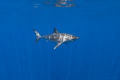 Right-side profile male great white shark photo by George Probst